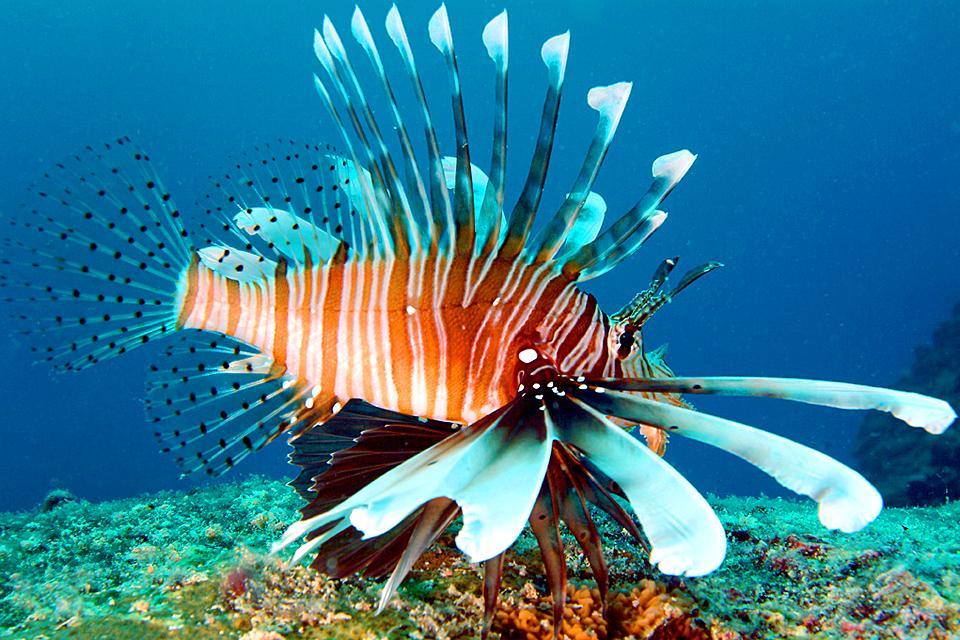 La fauna subacquea , Il pesce leone , Seychelles