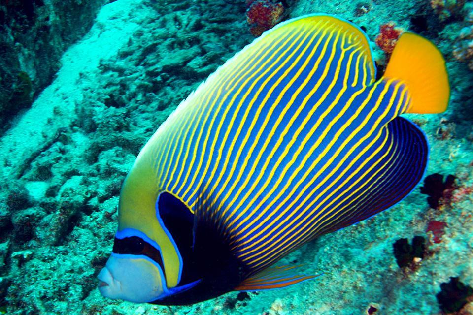 La fauna subacquea , Il pesce imperatore , Seychelles