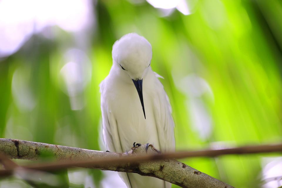 Cousine Island , Paille en queue , Seychelles
