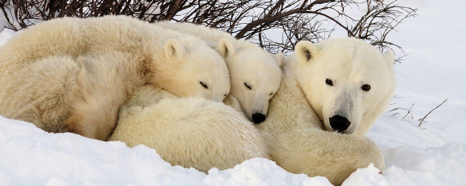 La faune et la flore, amerique , amerique du nord , canada , ontario , faune , mammifere , ours polaire , animal