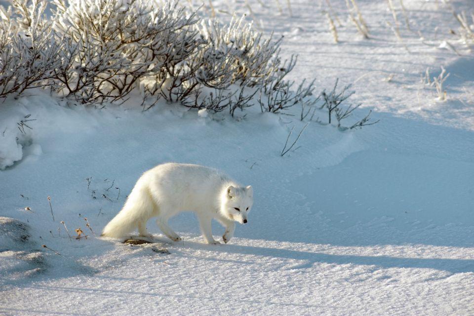 La faune et la flore, amerique , amerique du nord , canada , ontario , faune , mammifere , renard polaire , animal