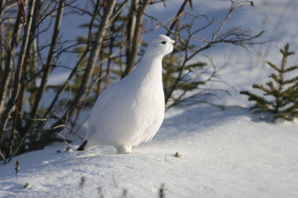 La faune et la flore, amerique , amerique du nord , canada , ontario , faune , oiseau , lagopede