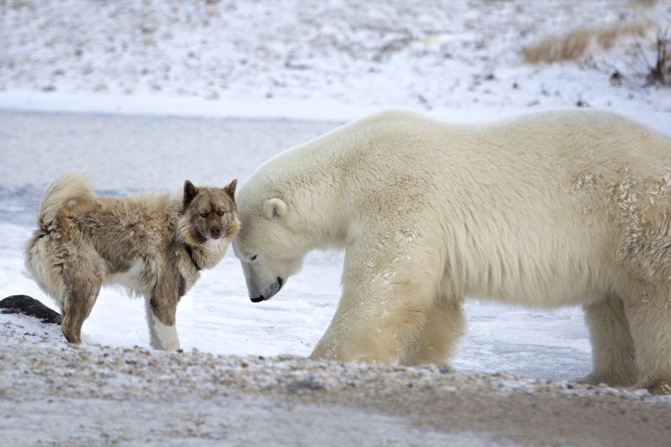 La faune et la flore, amerique, amerique du nord, canada, ontario, faune, mammifere, ours polaire, animal, chien