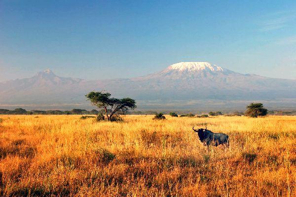 Il Kilimanjaro , Uno gnù davanti al Kilimangiaro , Tanzania