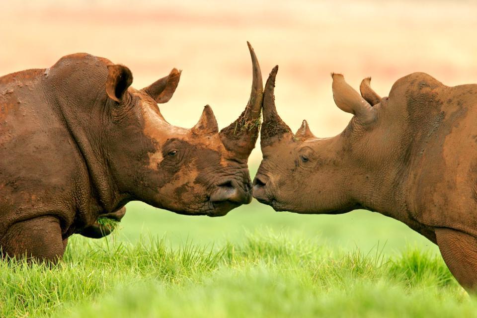 Il Parco nazionale del Pilanesberg , Il rinoceronte bianco. , Sudafrica