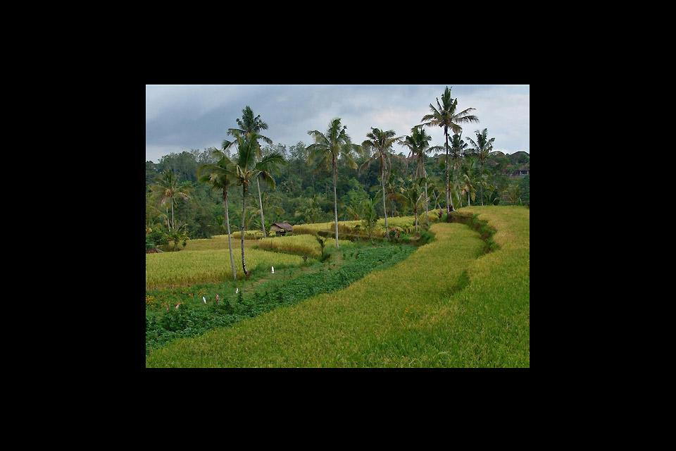 Terraced paddy fields , Ubud , Indonesia