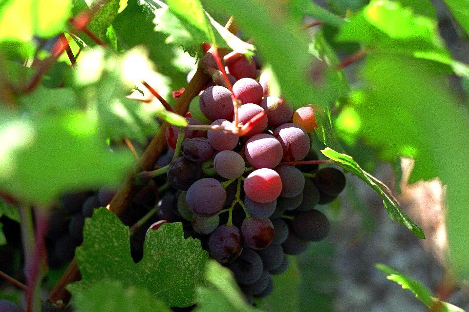 Le vin et la vigne , La viticulture chypriote , Chypre