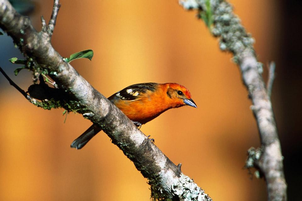 Volcan Baru , Une grande variété d'oiseaux , Panama