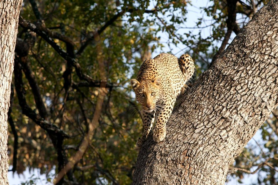 Le Parc Kruger , Le parc National Kruger , Afrique du Sud