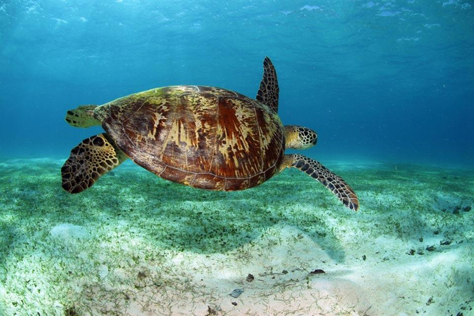 La faune , Les tortues marines , Panama