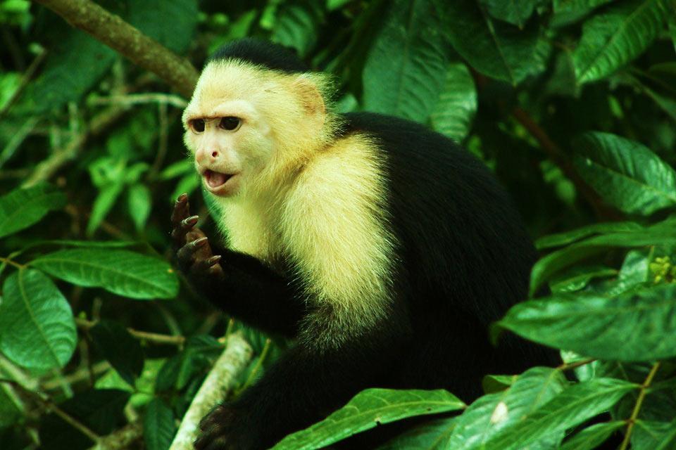La faune , L'île aux singes , Panama