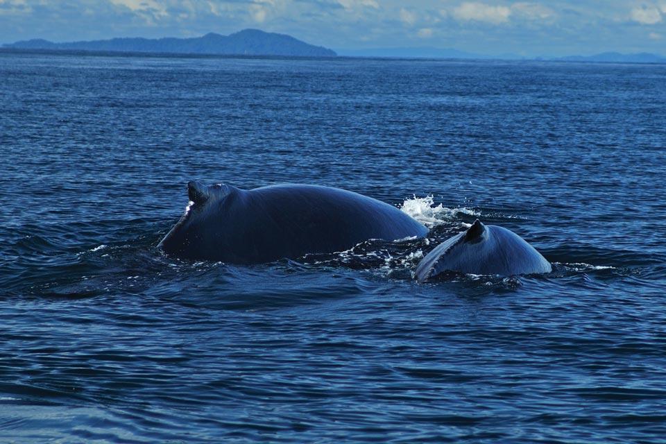 La faune , Les baleines , Panama