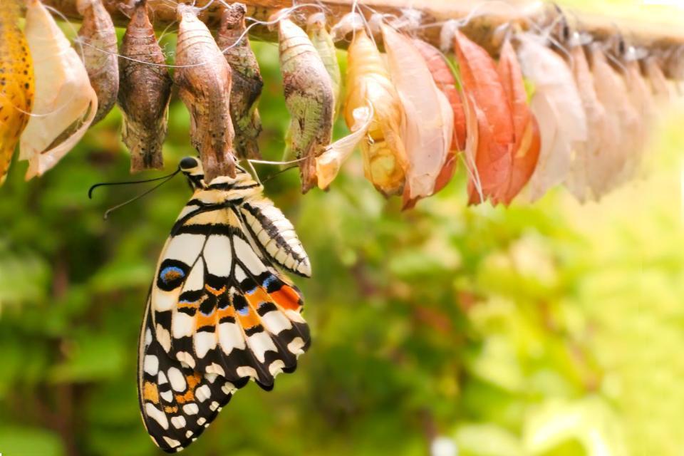 Le parc aux papillons de Bénalmadéna , Capullo de mariposa en el parque , España