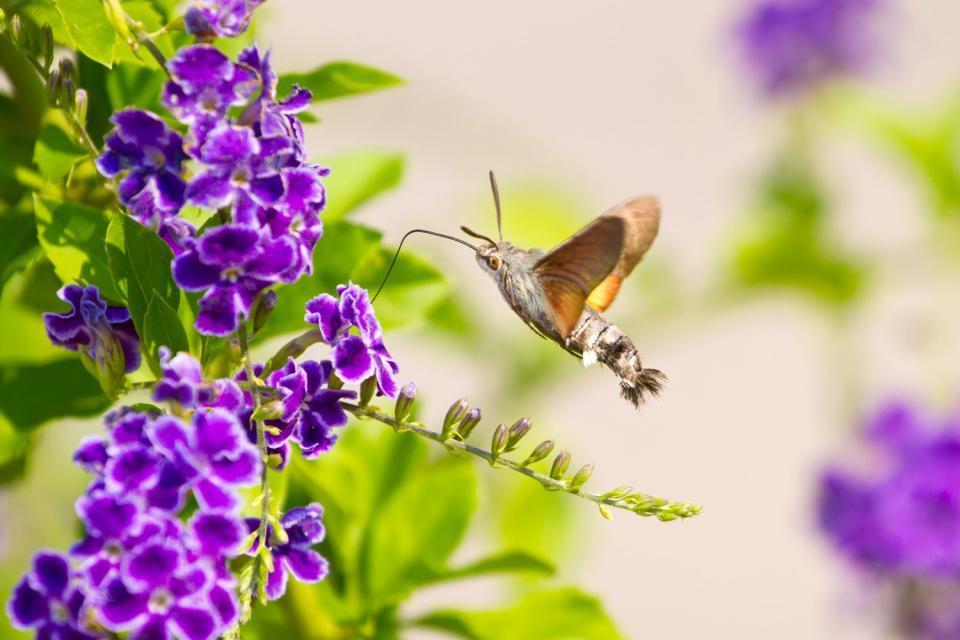 Le parc aux papillons de Bénalmadéna , La mariposa en la mesa , España