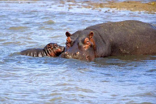 Die Reservate von Hluhluwe und Umfolozi , Das afrikanische Nilpferd , Südafrika