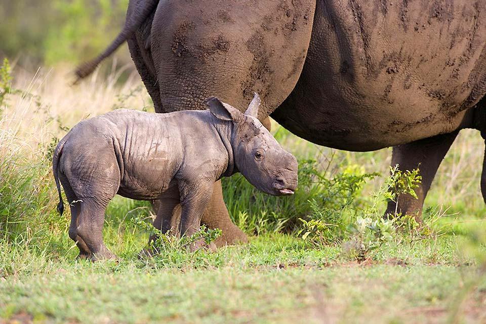 El Parque Nacional Kruger , Hluhluwe-Umfolozi , reserva nacional , Sudáfrica