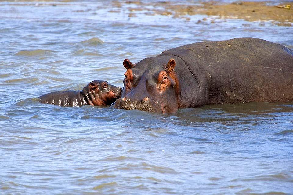 El Parque Nacional Kruger , El hipopótamo de África , Sudáfrica