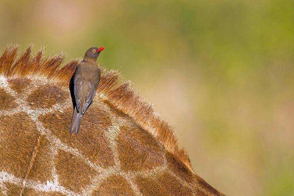 El Parque Nacional Kruger , Fauna de la reserva de Hluhluwe-Umfolozi , Sudáfrica