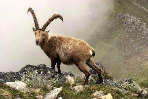 La faune sauvage de l'Ariège , Le bouquetin , France