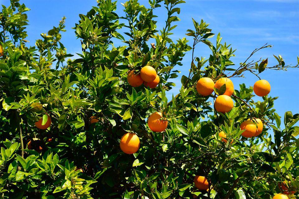 Les agrumes, Cuisine crétoise, La gastronomie, Crète