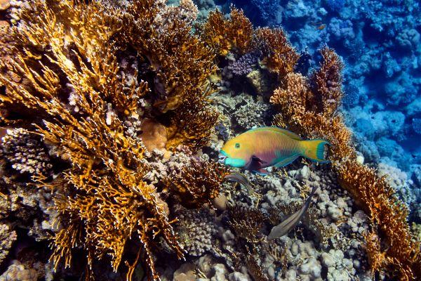 Underwater fauna , An example of Alexandrian grouper , Cape Verde