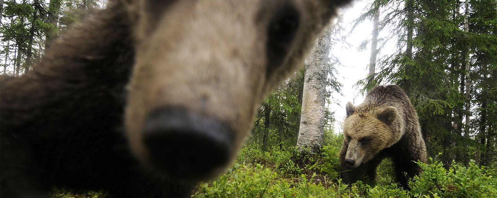 Observer les ours , Ours Brun , Finlande