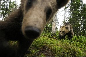 Observer les ours , Ours Brun , Finlande