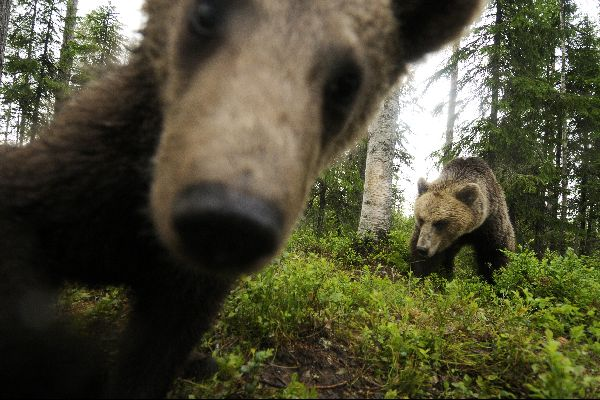 Ammirare gli orsi , Orso Bruno , Finlandia