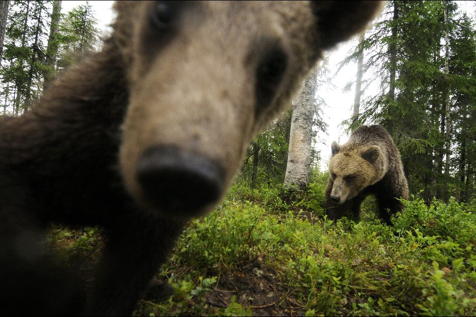 Observer les ours , Der Braunbär , Finnland