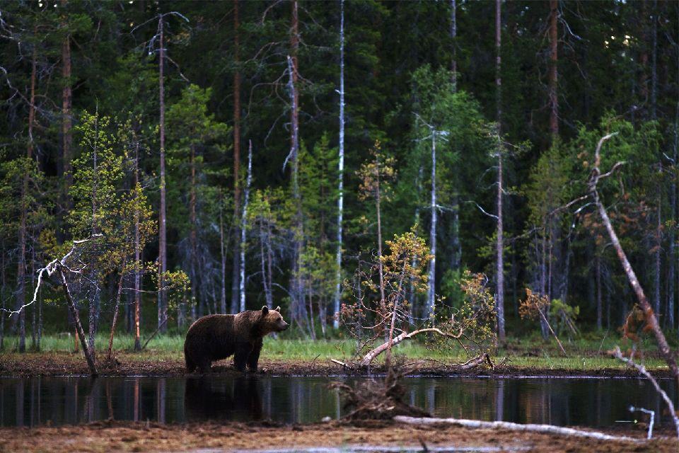 Observer les ours , Außergewöhnliche Begegnungen , Finnland