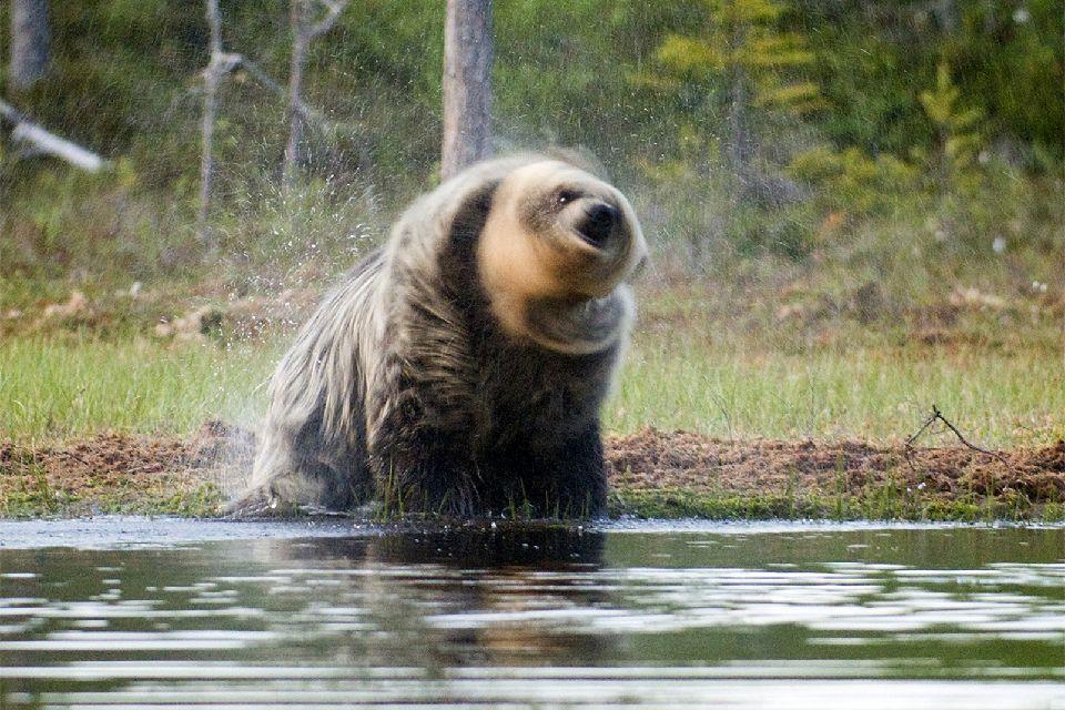 Observer les ours , Die Jagdsaison ist eröffnet , Finnland