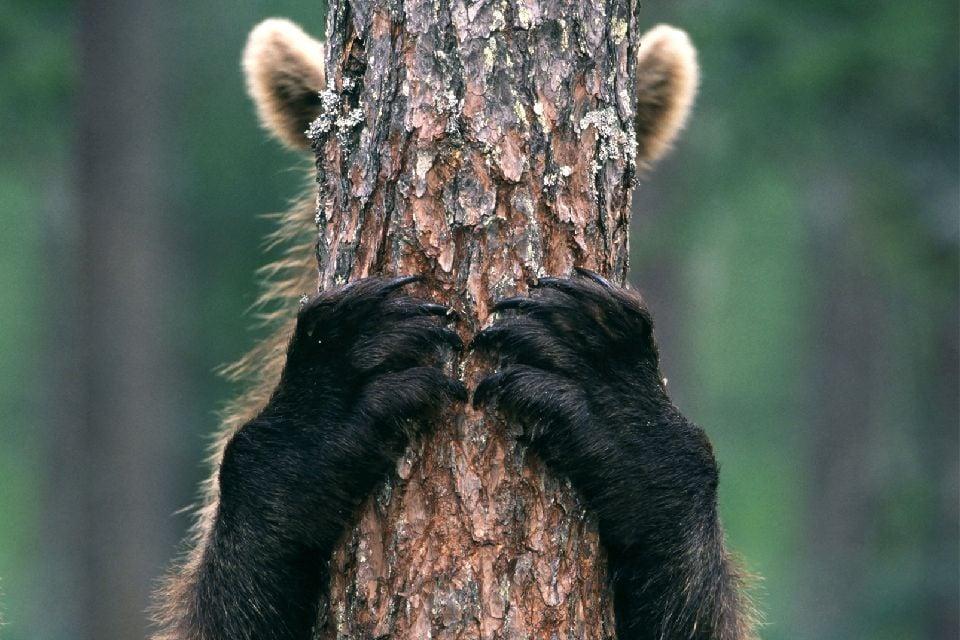 Observer les ours , Fotografie der Bären , Finnland