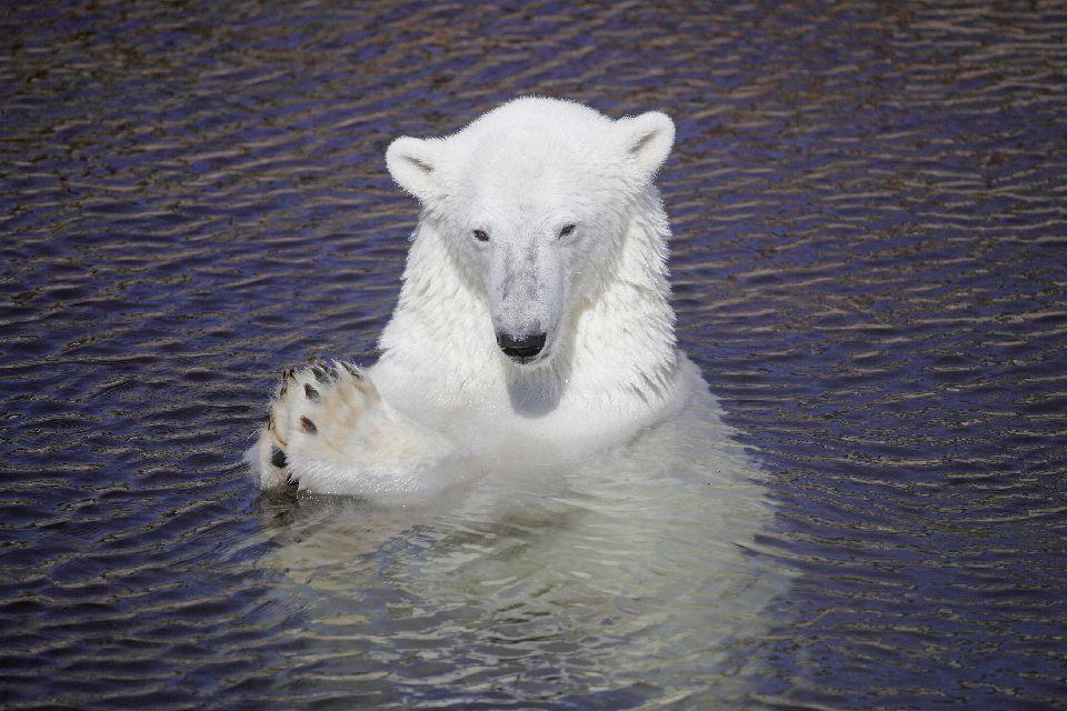 Observer les ours , Ein Eisbär in seiner natürlichen Umgebung. , Finnland