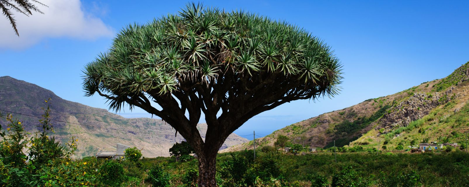 Vegetation in Cape Verde, The dragon-tree, The fauna and flora, Cape Verde