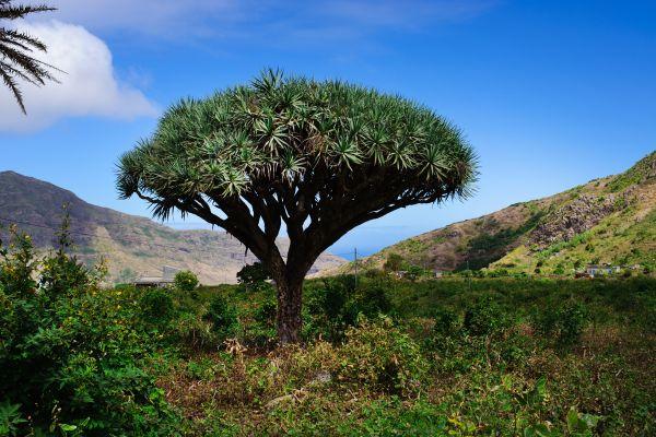 Vegetation der Kapverdischen Inseln, Der Drachenbaum, Die Fauna und Flora, Kapverden