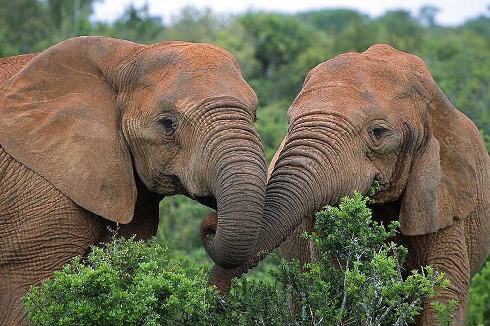 Le Parc national d'Addo Elephant , Vaccination pour le Parc d'Addo Elephant , Afrique du Sud