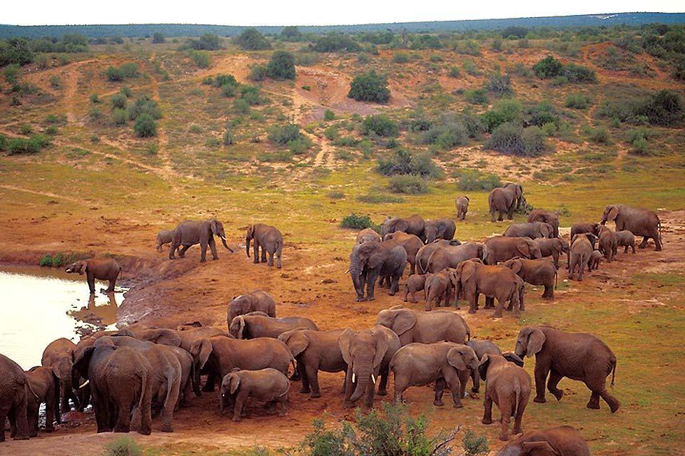 Le Parc national d'Addo Elephant , Troupeau d'éléphants , Afrique du Sud
