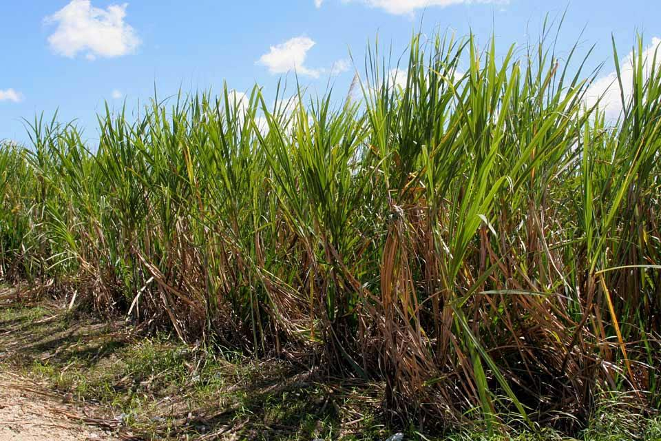 Le rhum , Piantagione di canna da zucchero , Repubblica Dominicana
