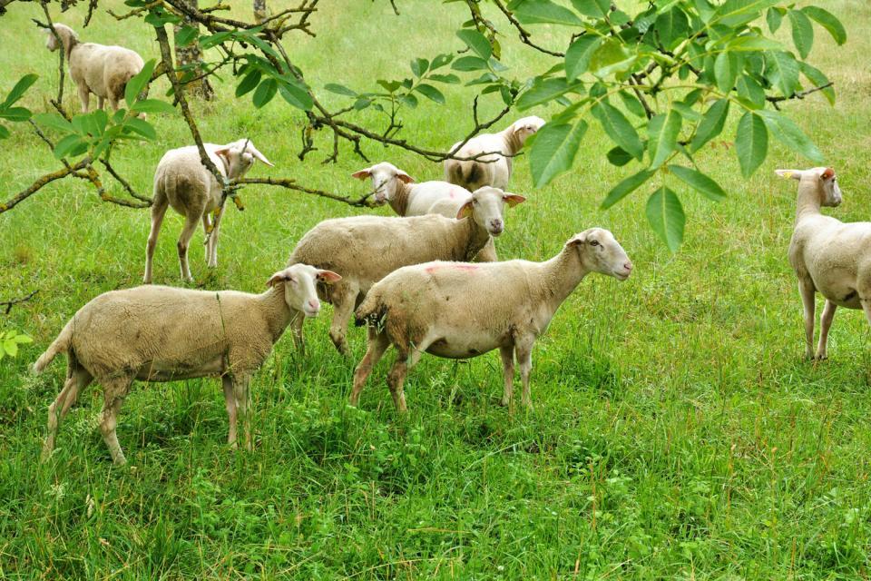 L'agneau Baronet du Limousin , France