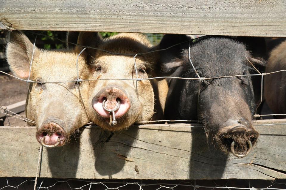 Le cochon du Limousin , France