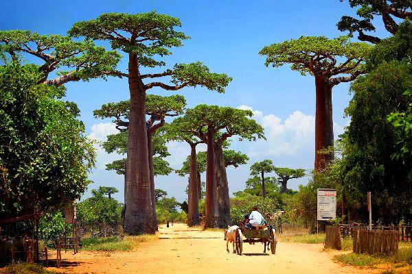 Der Baobab , Madagaskar
