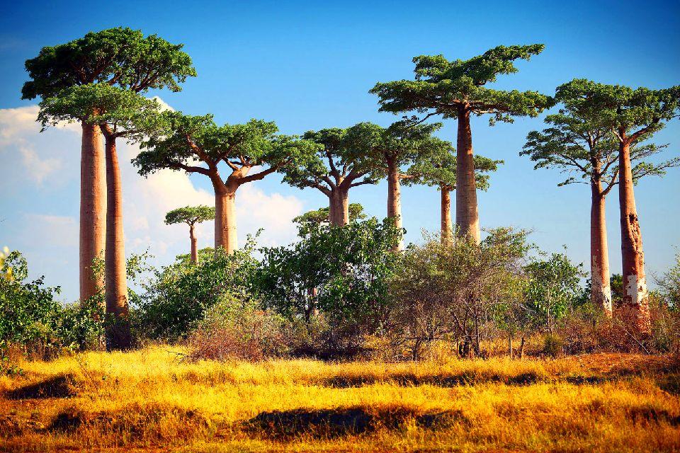 L'allée des baobabs , Se rendre à l'allée des baobabs , Madagascar