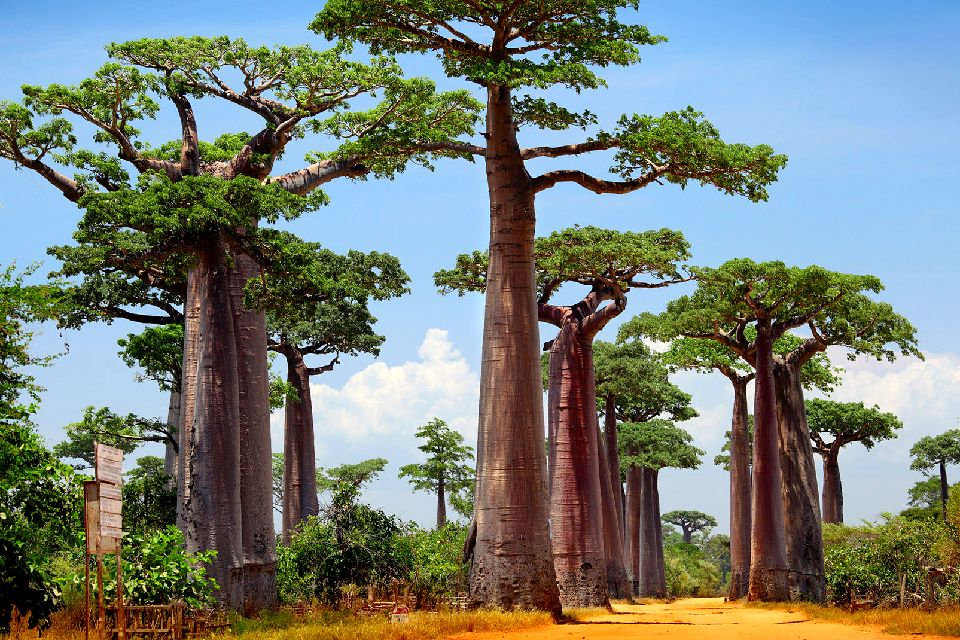 L'allée des baobabs , Les racines du ciel , Madagascar