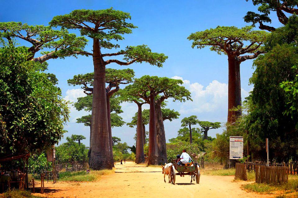 L'allée des baobabs , Région de Menabe , Madagascar
