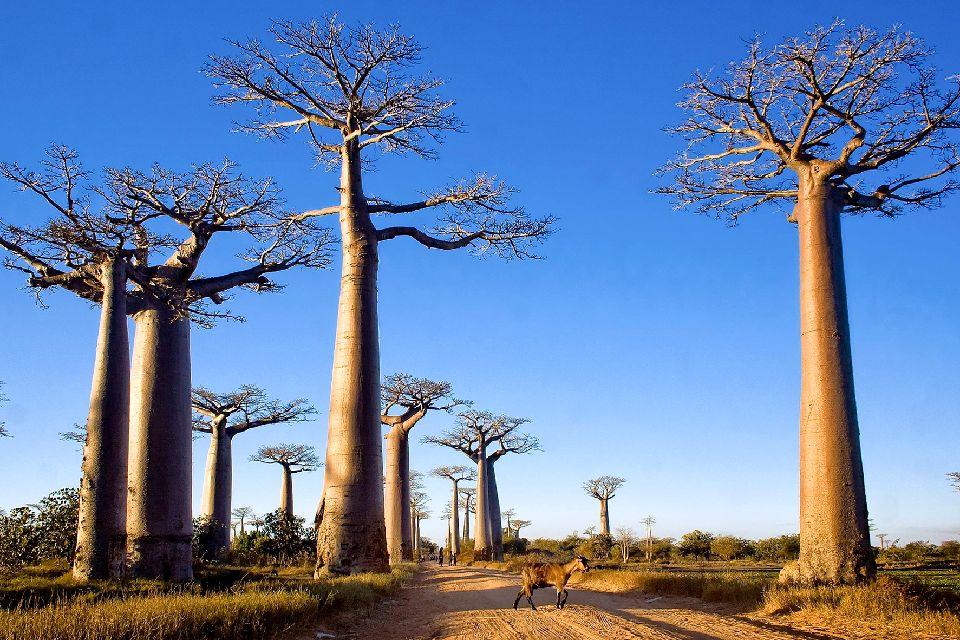 L'allée des baobabs , Autour de l'allée des baobabs , Madagascar