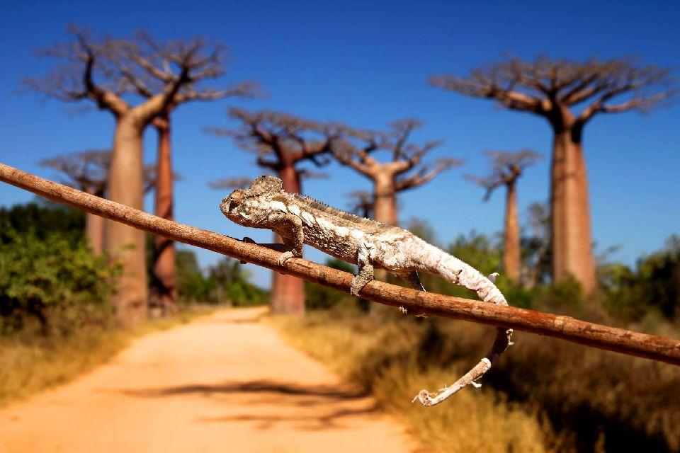 L'allée des baobabs , Visite de l'allée de baobabs , Madagascar