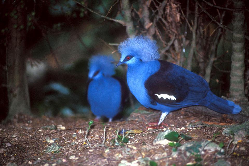 Les oiseaux , Malaysia