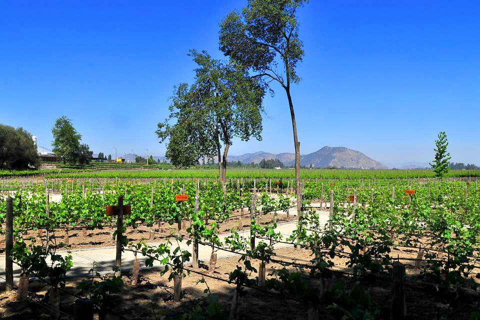 Les vignobles chiliens , Chilean vineyards , Chile