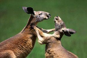 Kangaroo Island , Australien