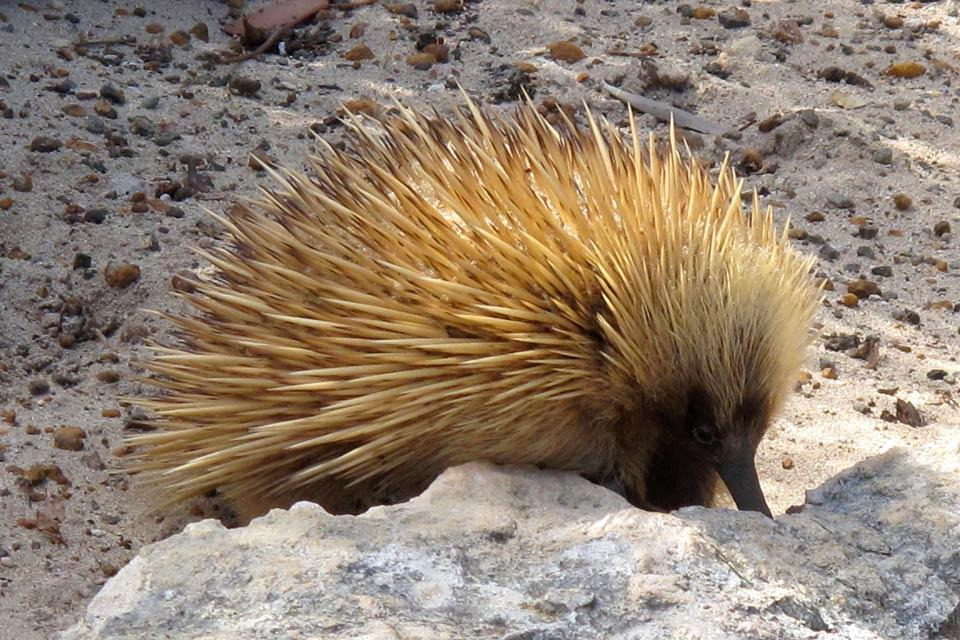 Kangaroo Island , Le hérisson , Australie